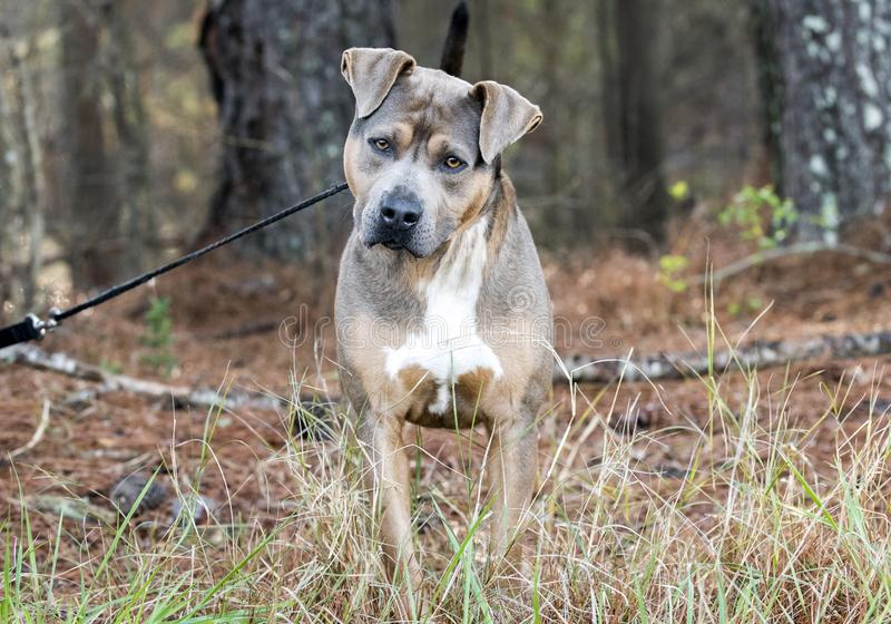 Inclinação da cabeça de cão de Brown Pit Bull Terrier imagem de stock