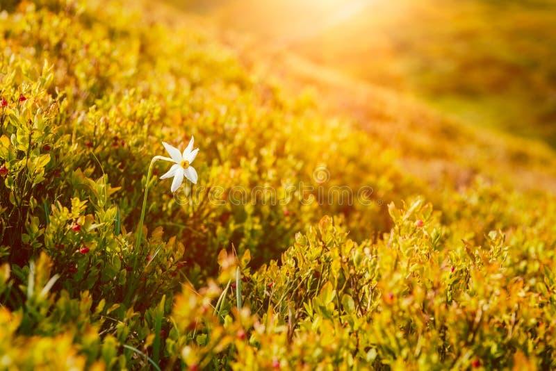 Inclinação de montanha ensolarada com a única flor branca do narciso selvagem entre arbustos de mirtilo fotos de stock