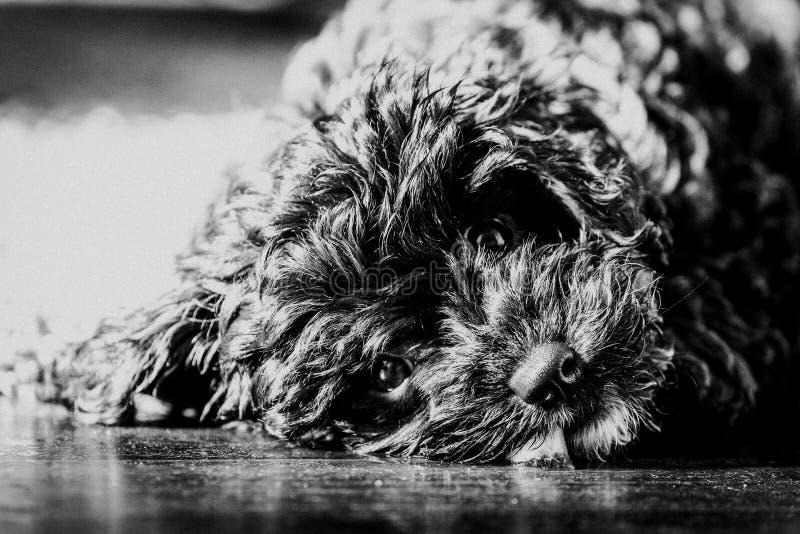 Inclinação principal do cachorrinho preto de Cavoodle que olha a câmera imagens de stock