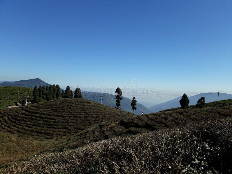 Inclinações de prodigalidade da folha de chá com as árvores alpinas fewly distribuídas bonitas foto de stock