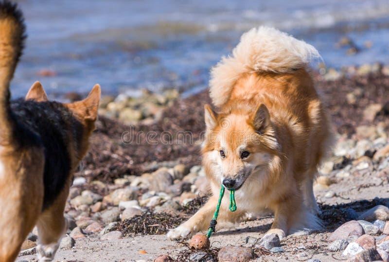 Inclinación del perro que invita para comenzar una caza imagen de archivo libre de regalías