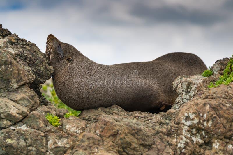 Incognito, foka próbuje chować obraz stock