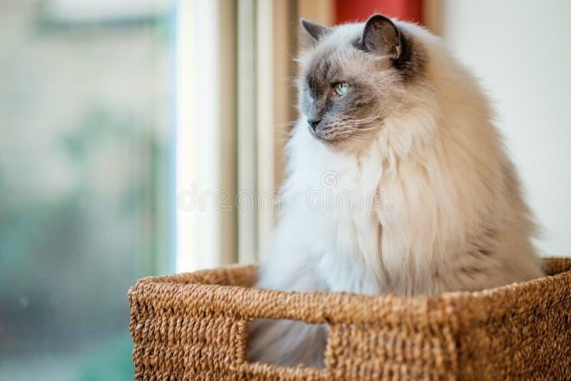 Incontri Boris, un gatto di Ragdoll che si siede in fretta e furia il canestro fotografia stock