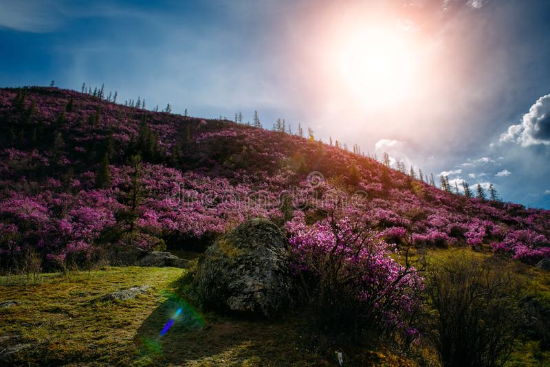 Incredible fabulous view of the mountains and blue sky with white clouds. Purple rhododendron flowers on grassy slopes stock photos