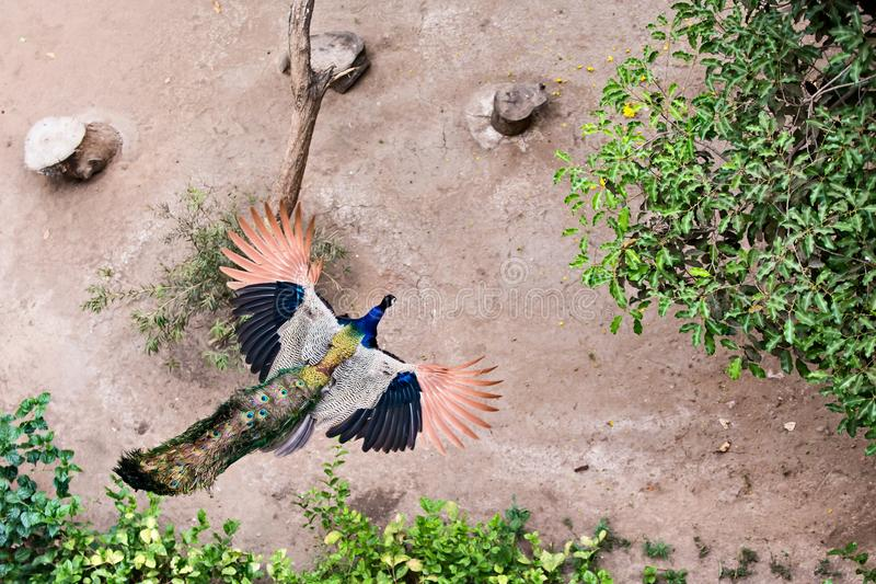 Incredible Flying Peacock, stunning colors!! royalty free stock image