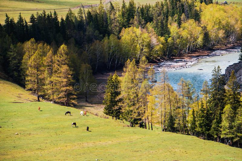 Incredible Landscape valley of the Altai mountains with trees, horse and river royalty free stock images