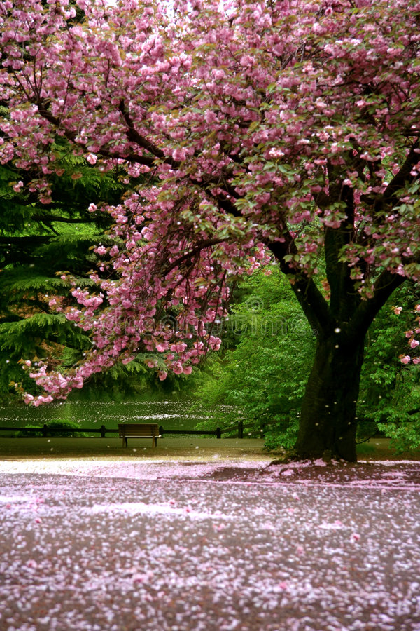 Download Incredible Scene - Cherry Blossom Snow Stock Image - Image of outdoors, cherry: 6239425