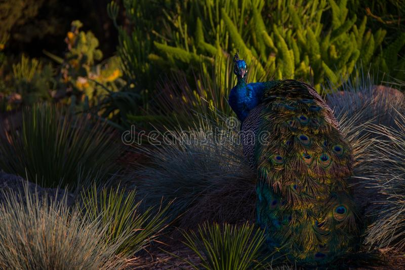 Incredible shot of a peacock in a desert landscape amongst rocks and bushes at sunset royalty free stock photography