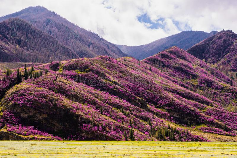 Incredible view of Altai valley with hills covered with purple flowers of maralnik.  royalty free stock photography
