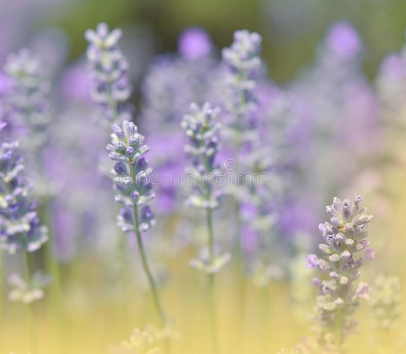 Beautiful Green Nature Background.Lavender Field.Colorful Macro Photography.Abstract Photo.Beauty in Nature.Flower,violet,golden. royalty free stock images
