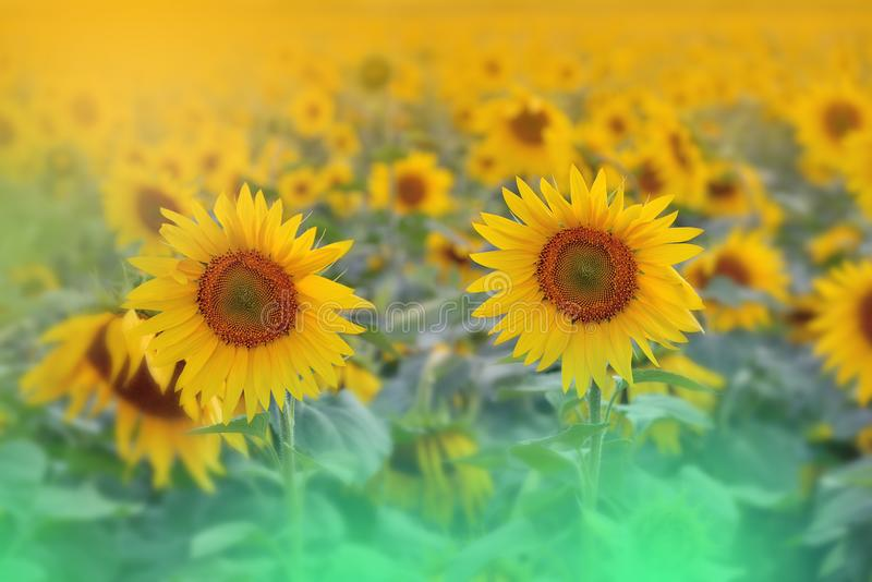 Incredibly härlig natur Konstfotografi Fantasidesign idérik bakgrund Fantastiska färgrika solrosor Fält baner arkivbild