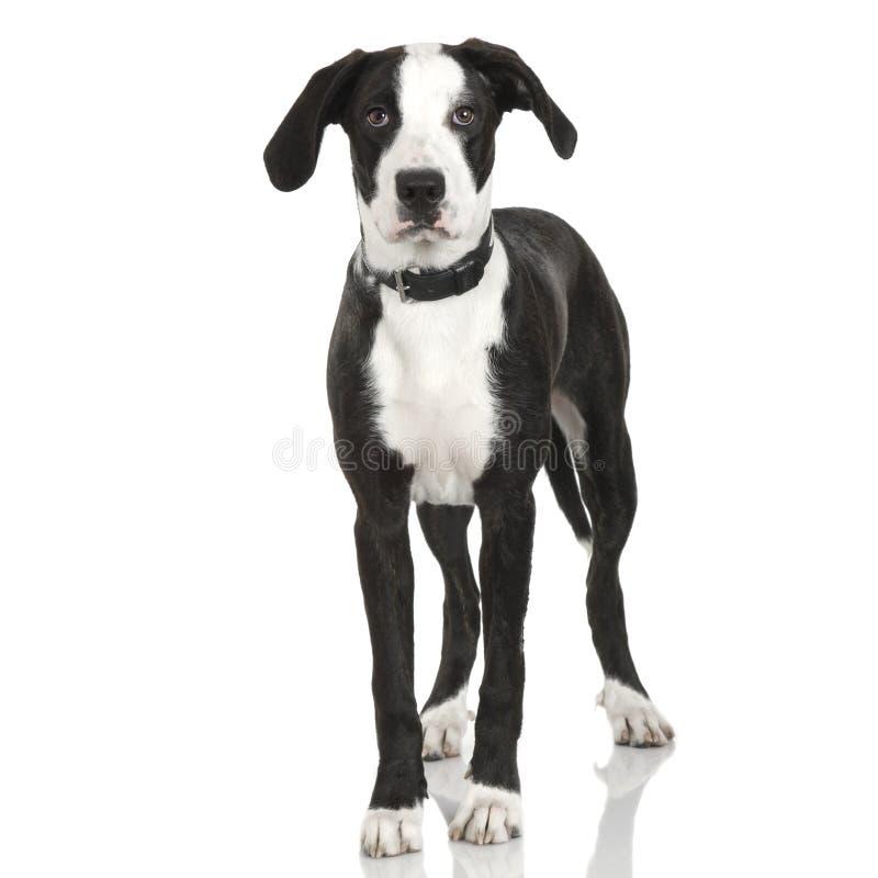 Incrocio americano del personale del cucciolo immagini stock