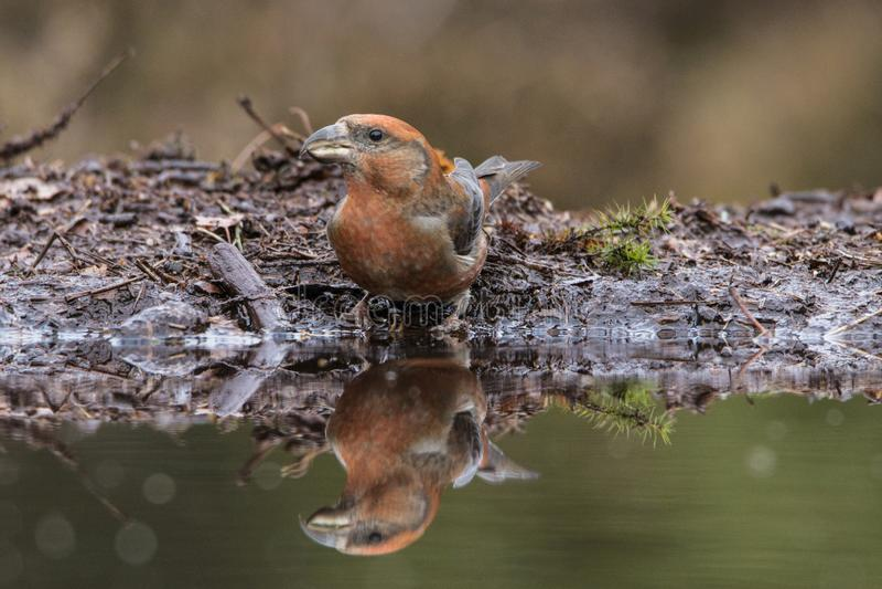 Incrocio Bill, curvirostra di Loxia songbird immagine stock