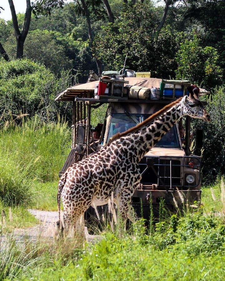 Incrocio della giraffa fotografia stock
