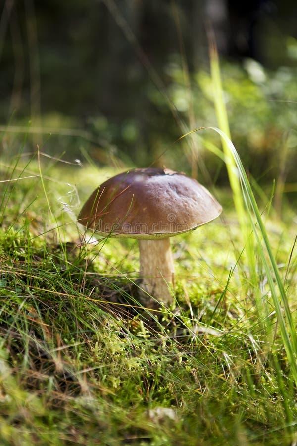 Incursione del fungo immagine stock