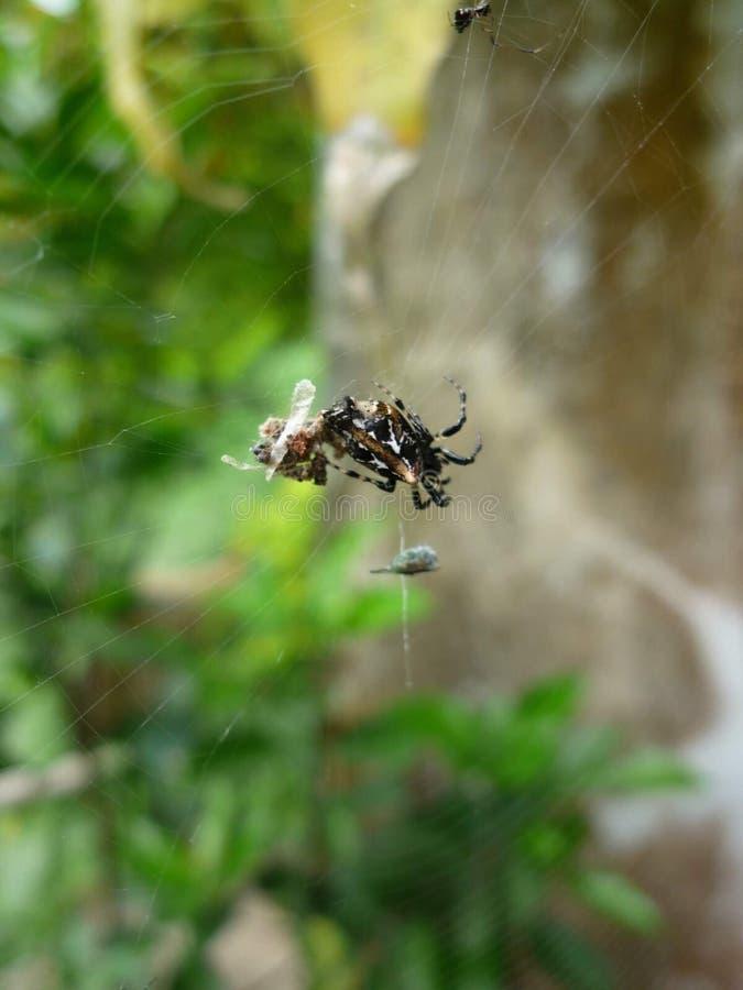 Incy-wincy Spinne stockbilder