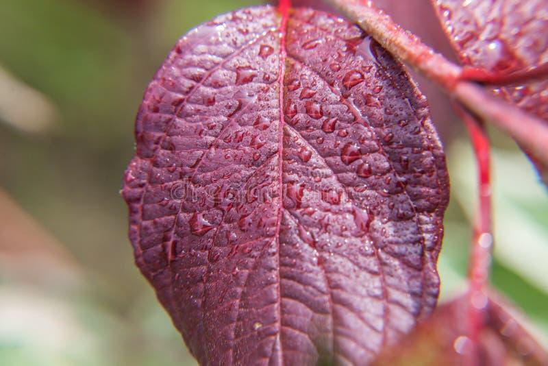 Ind?stria de vinho da viticultura Gotas da ?gua de chuva nas folhas verdes da uva no vinhedo fotos de stock royalty free