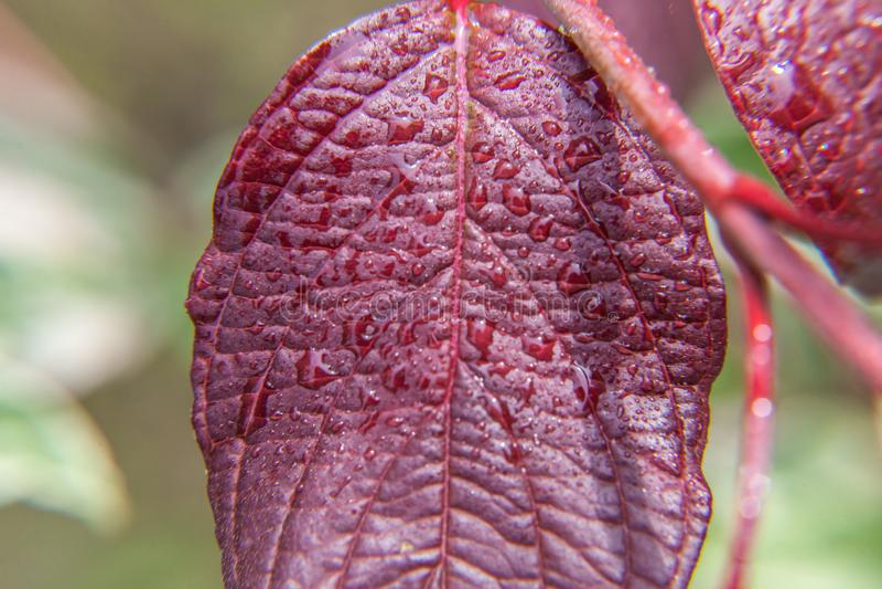 Ind?stria de vinho da viticultura Gotas da ?gua de chuva nas folhas verdes da uva no vinhedo imagem de stock