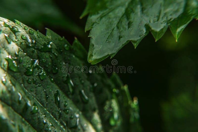 Ind?stria de vinho da viticultura Gotas da ?gua de chuva nas folhas verdes da uva no vinhedo imagens de stock royalty free