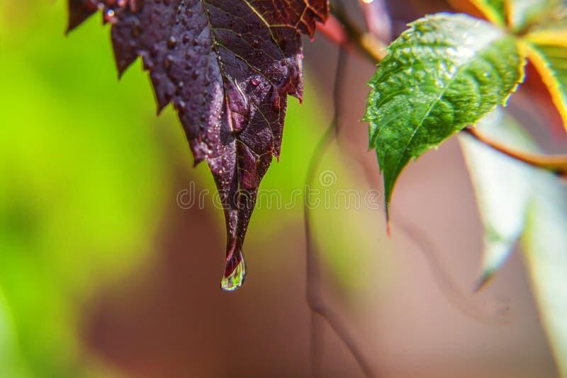 Ind?stria de vinho da viticultura Gotas da ?gua de chuva nas folhas verdes da uva no vinhedo imagem de stock royalty free