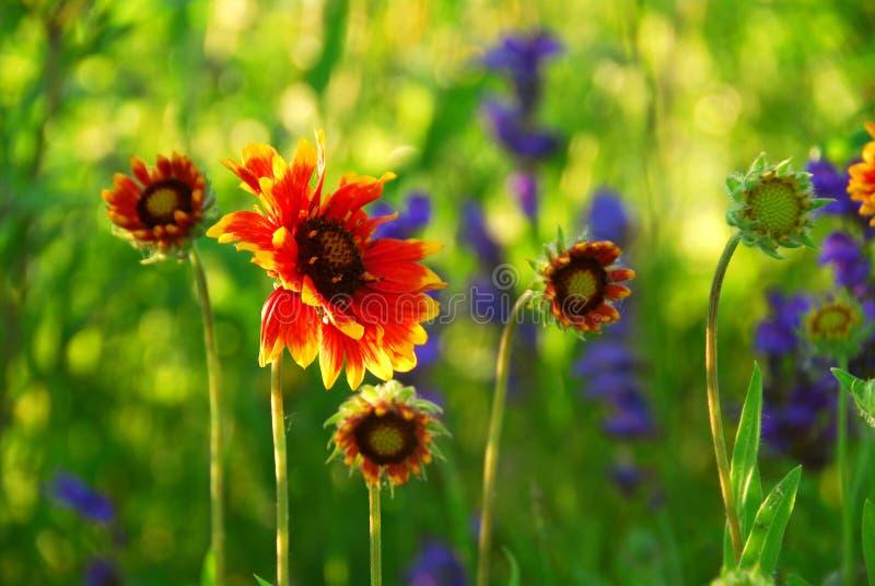 Indain blanket flowers stock images