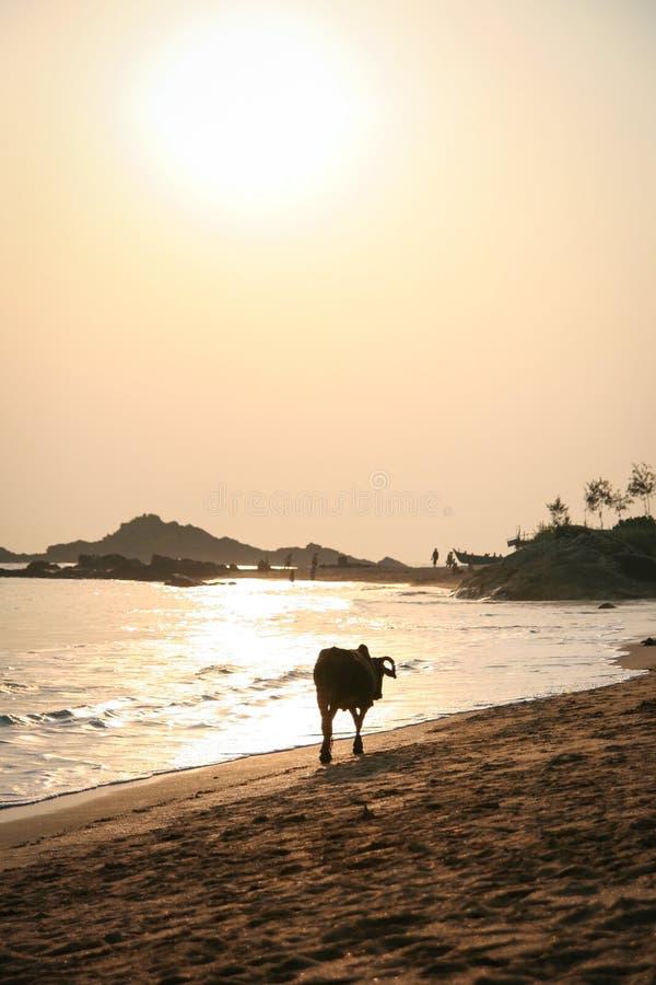 Inde de marche de coucher du soleil de plage de vache photographie stock libre de droits