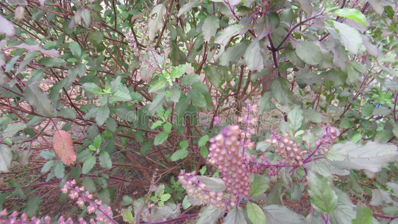 Inde du sud de fines herbes médicinale de Basil image stock