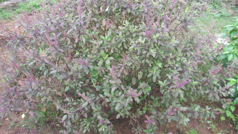 Inde du sud de fines herbes médicinale de Basil photos stock