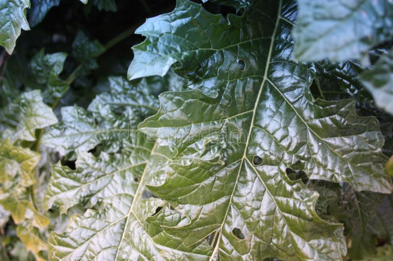 An indefinite large green leaf of a green plant grown wild in the forest. they look like spinach stock photography