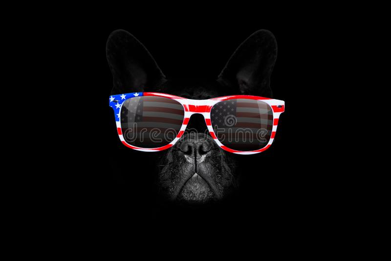 Independence day 4th of july dog. French bulldog dog 4th of July on independence day, isolated on black dark background wearing sunglasses royalty free stock images