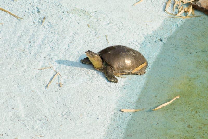 Inder Flapshell-Schildkröte lizenzfreie stockfotografie
