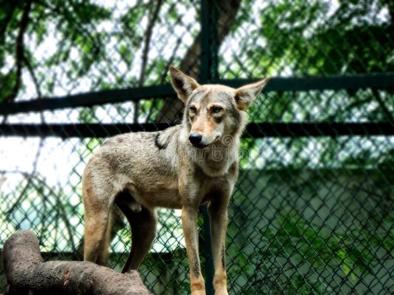 Inder Wolf Standing stockbilder