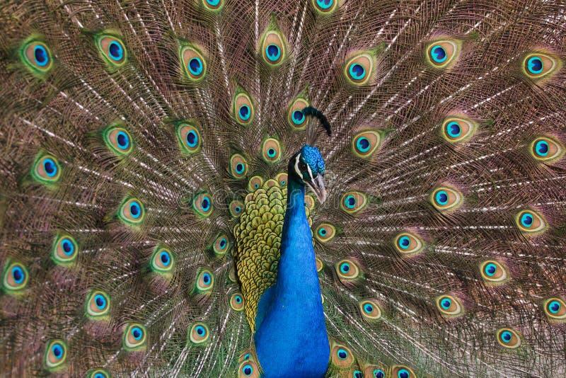 Indiański peafowl Pavo cristatus fotografia royalty free