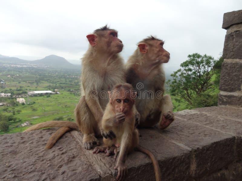 Indiańscy dzikie zwierzęta małpują gesty zdjęcie stock