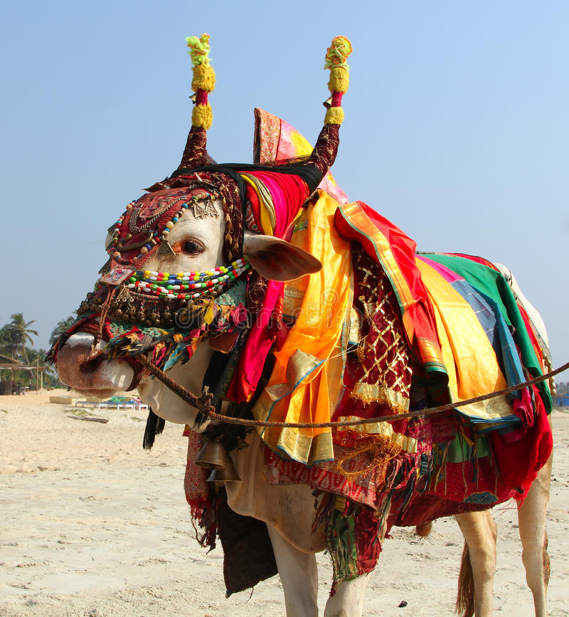 Indiańska święta krowa na plaży, GOA obraz stock