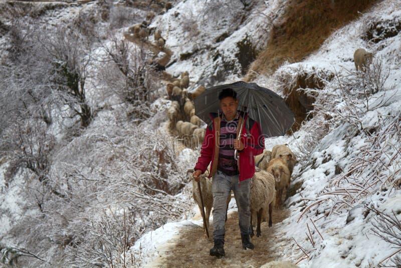 Indiańska baca prowadzi jego cakle na halnym śladzie w opad śniegu fotografia stock