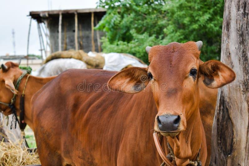 Indiańska dżersejowa krowa obraz royalty free