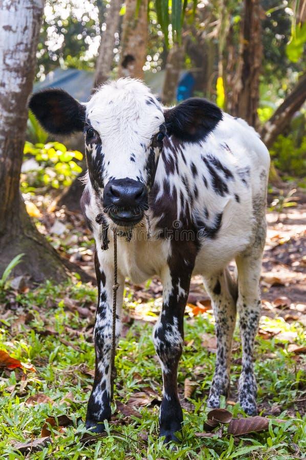 Indiańska krowy łydka pasa w dżunglach Kerala zdjęcie royalty free