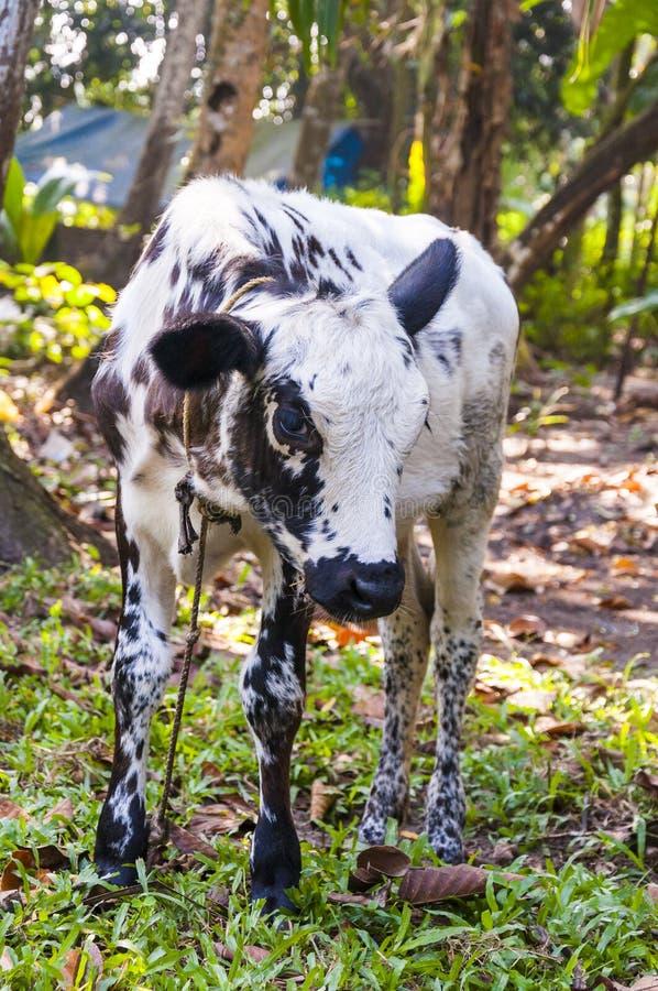 Indiańska krowy łydka pasa w dżunglach Kerala fotografia stock