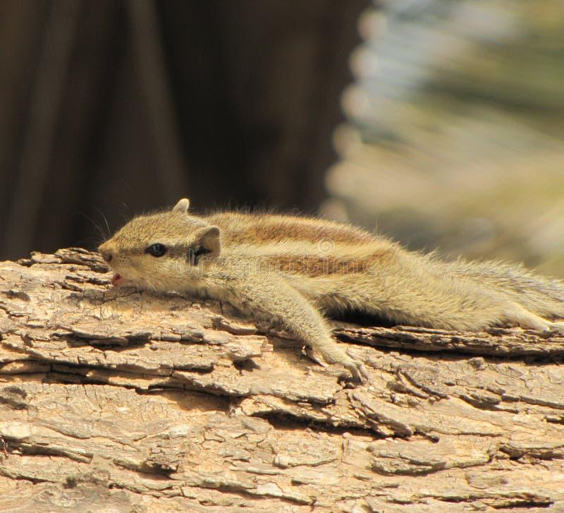 INDIAŃSKA wiewiórka NA DREWNIANEJ beli zdjęcia stock