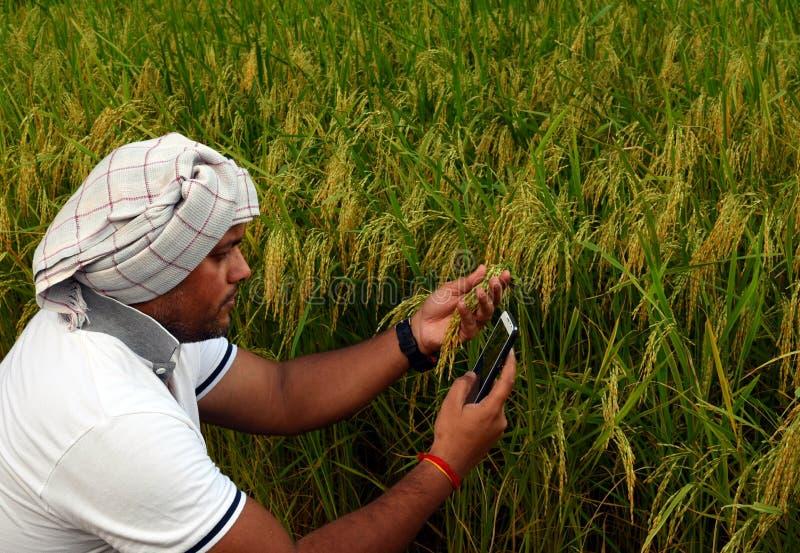 Indiański Średniorolny sprawdza przyrost ryżowego irlandczyka gospodarstwo rolne i robić wezwanie z mądrze telefonem zdjęcia stock