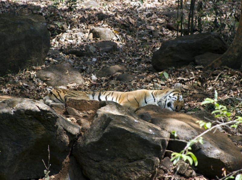 Indiański Bengalski tygrys kłama na skale w zoo India goa fotografia royalty free