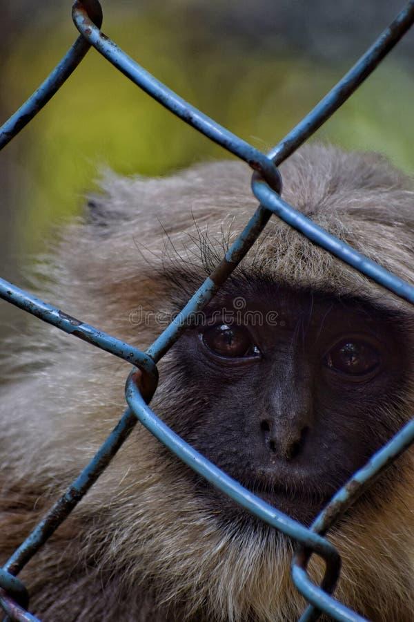 Indiański dziecka langur zdjęcie royalty free