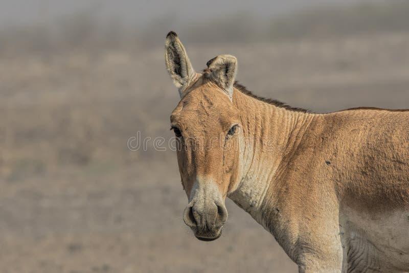 Indiański dzikiego osła Equus hemionus khur także dzwonił Ghudkhur, Khur lub Indiańskiego onager zbliżenie, obrazy stock