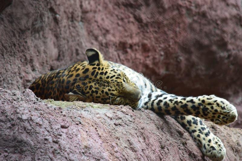 Indiański gepard fotografia royalty free