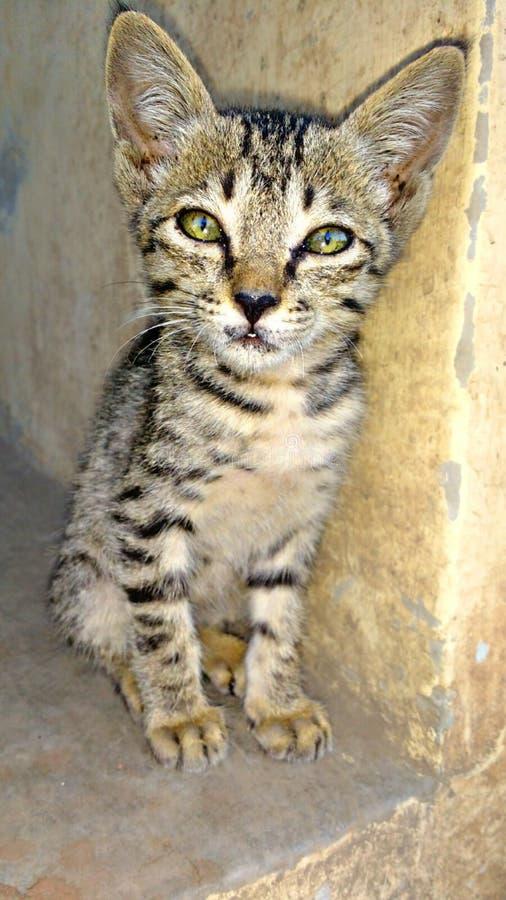 Indiański kot obraz stock