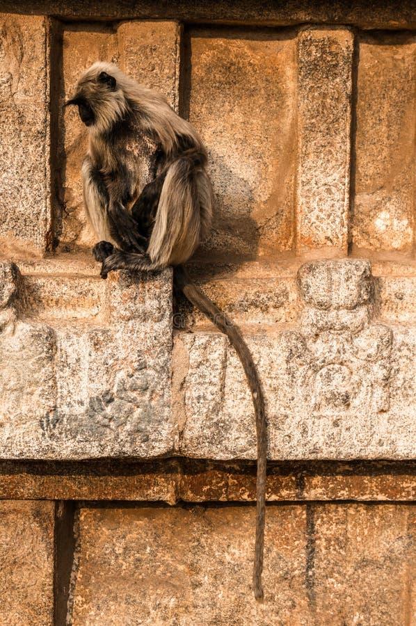 Indiański langur sittng na świątyni w Hampi, Karnataka, India zdjęcia stock