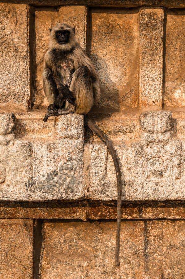 Indiański langur sittng na świątyni w Hampi, Karnataka, India zdjęcia royalty free