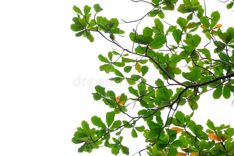 Indiański migdał opuszcza z gałąź na białym odosobnionym tle dla zielonego ulistnienia tła obraz stock