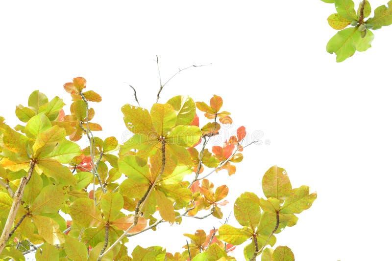 Indiański migdał w jesieni zdjęcia stock